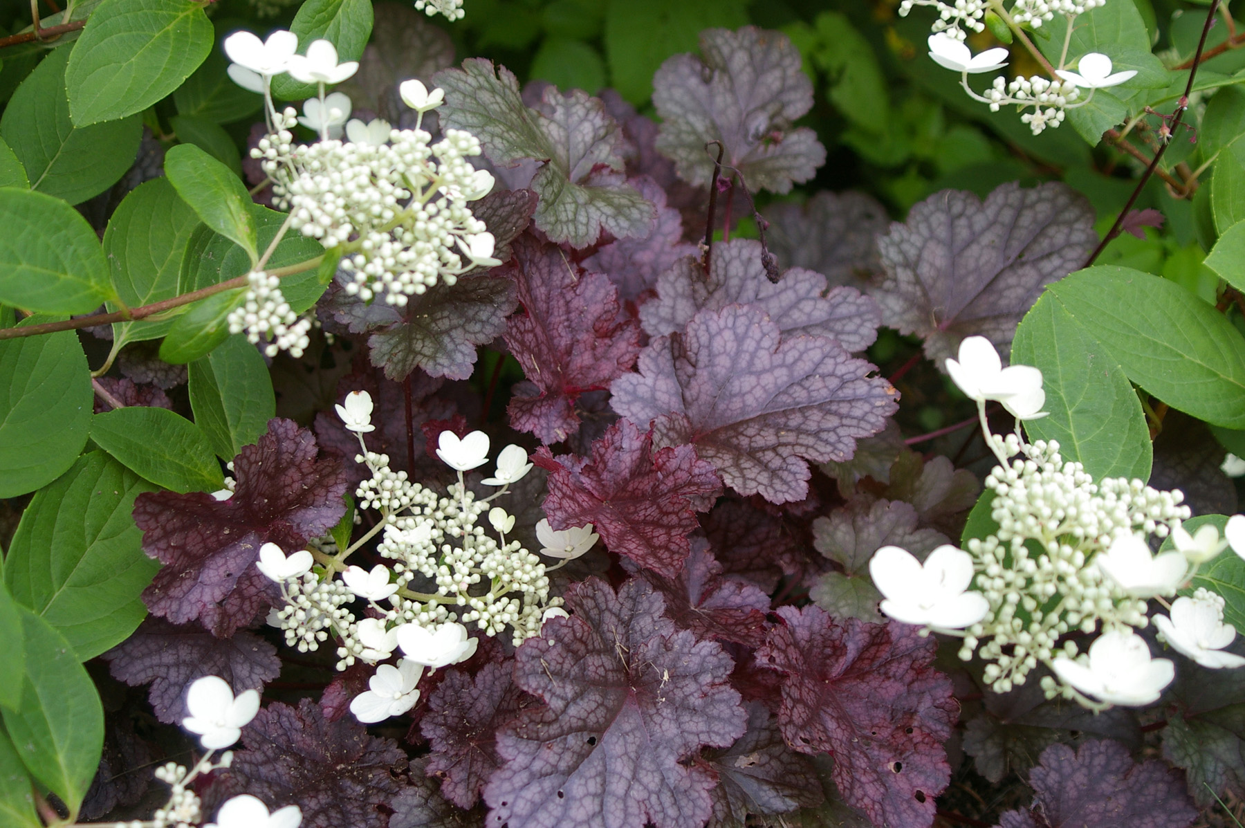 Heuchera Purple | womanswork.