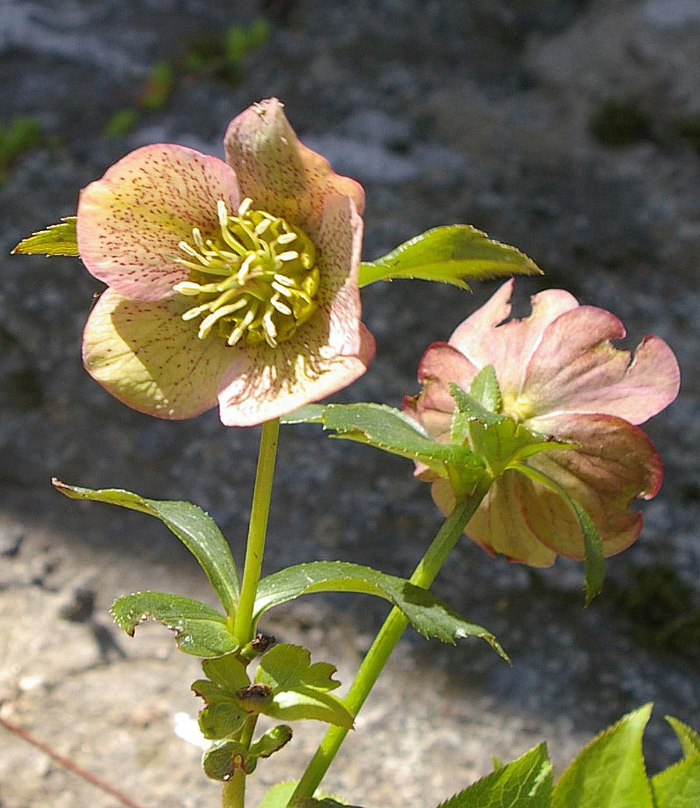 Blooming Hellebore