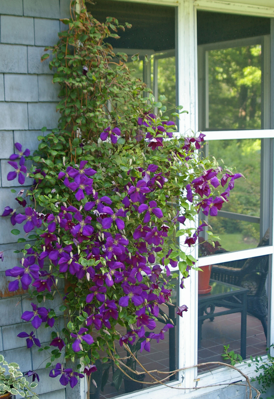 Pruning clematis in early spring womanswork clematis mightylinksfo Gallery