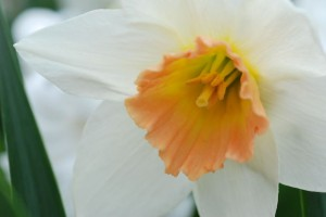 Blooming Daffodil