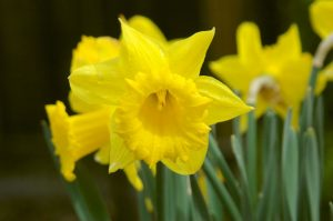 Daffodil