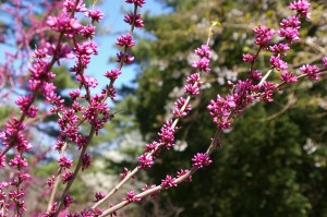 Cercis Canadensis