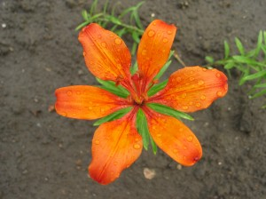 Tiger Lily After Raining