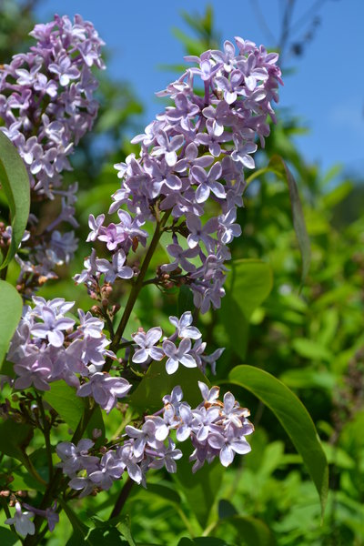Purchasing A Lilac Can Be Tricky Not All Lilacs Are Fragrant