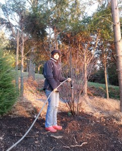Debbie watering newly planted Amelanchier