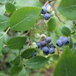 HighBushBlueberry