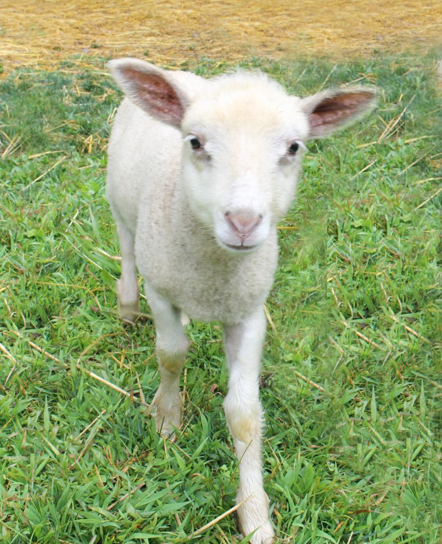SheepFarm5