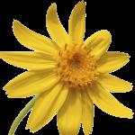 Arnica-FlowerCC