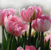 foxtrot-tulips