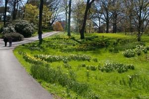DaffodilDriftsNYBG-CC