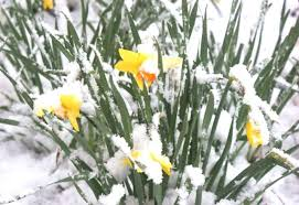 Daffodils in snow2